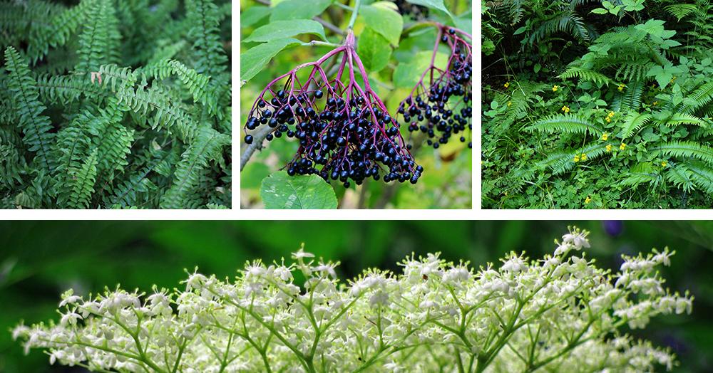 native plants of british columbia ferns elderberry