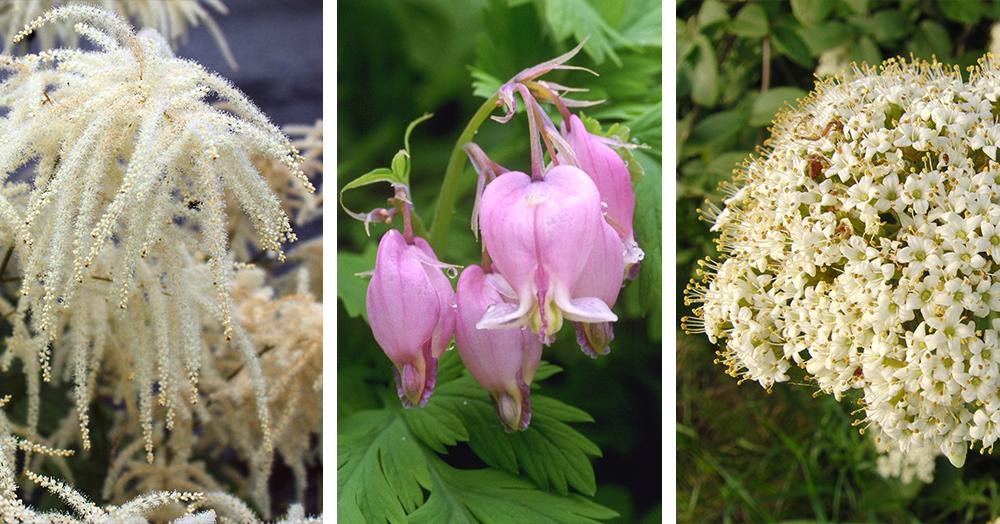 native plants of british columbia goatsbeard pacific bleeding heart arrowwood viburnum