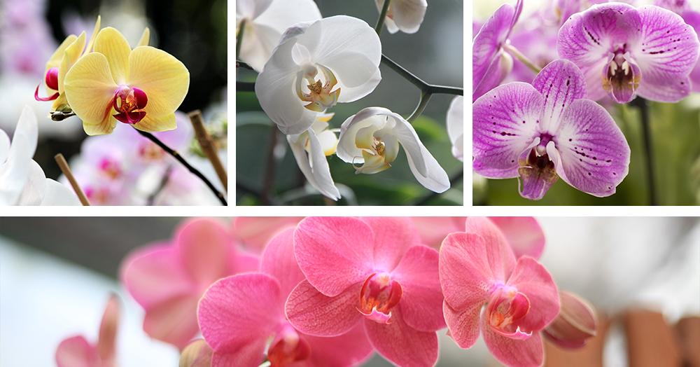 yellow white purple pink phalaenopsis moth orchid care powell river