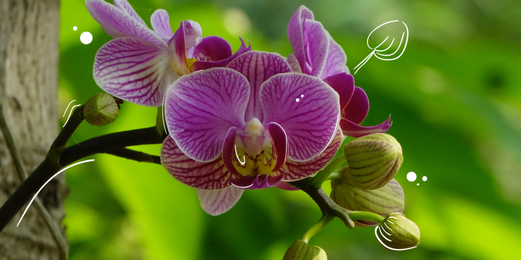 purple pink phalaenopsis moth orchid care powell river