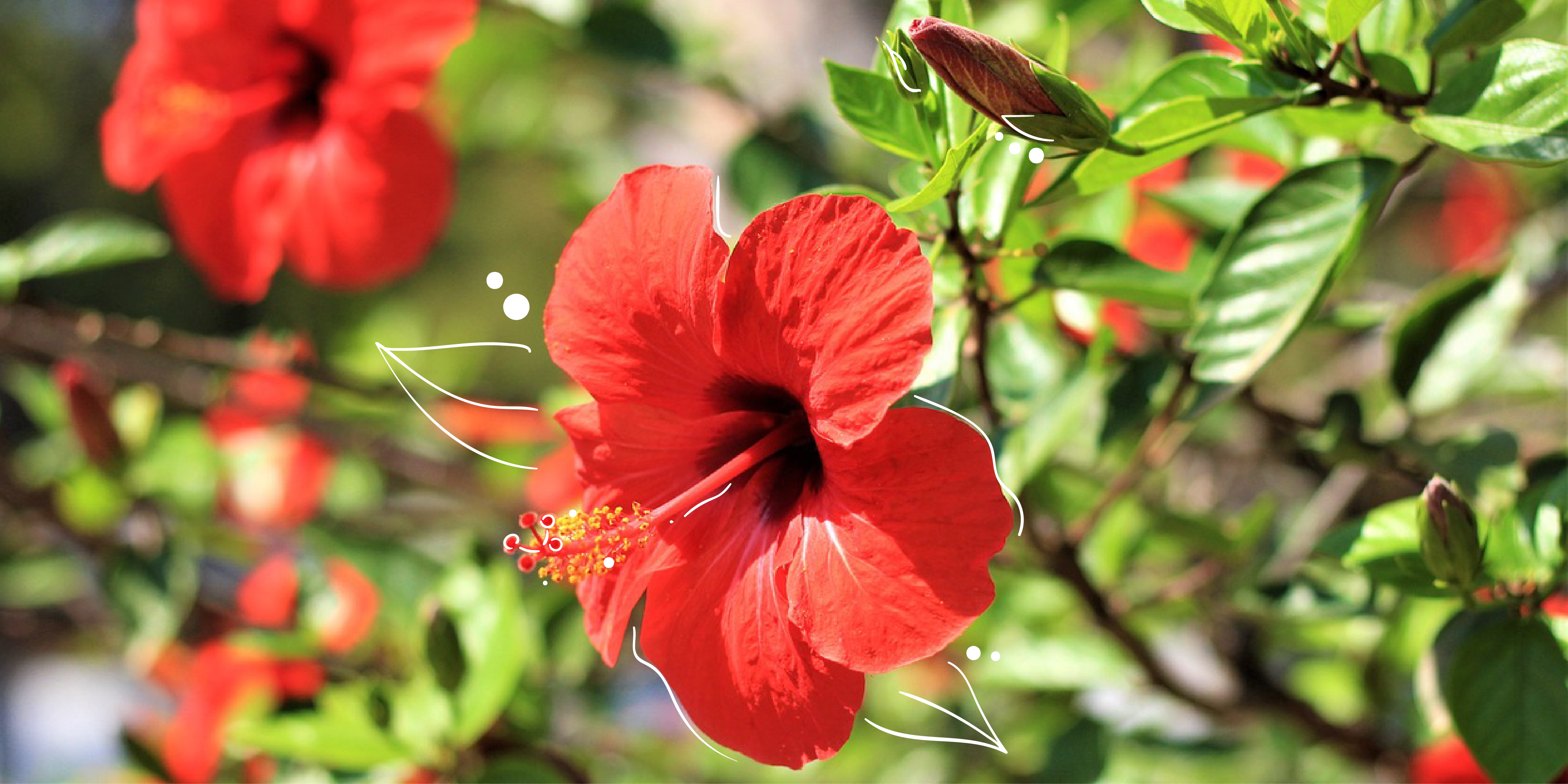 Mother Nature | How to Care for Hibiscus Plants