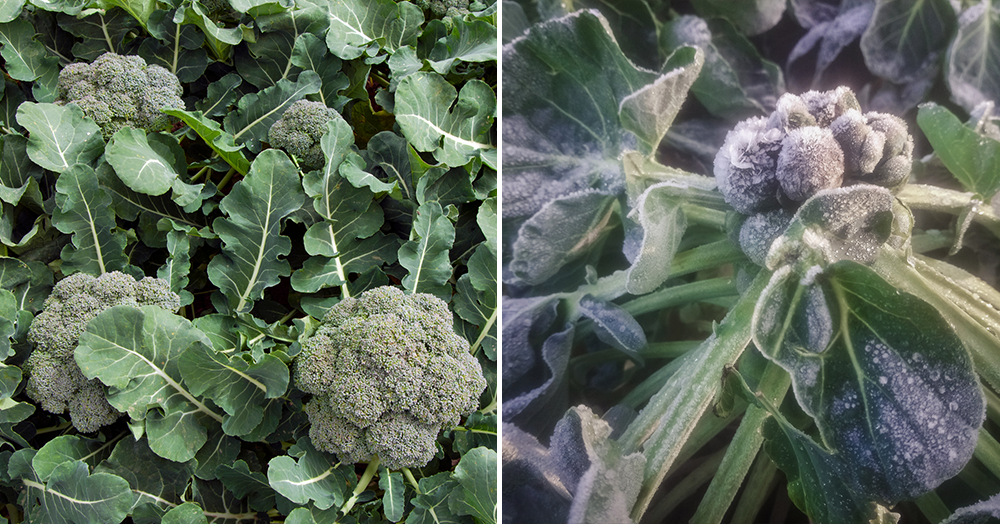 cold weather winter veggies broccoli brussels sprouts powell river