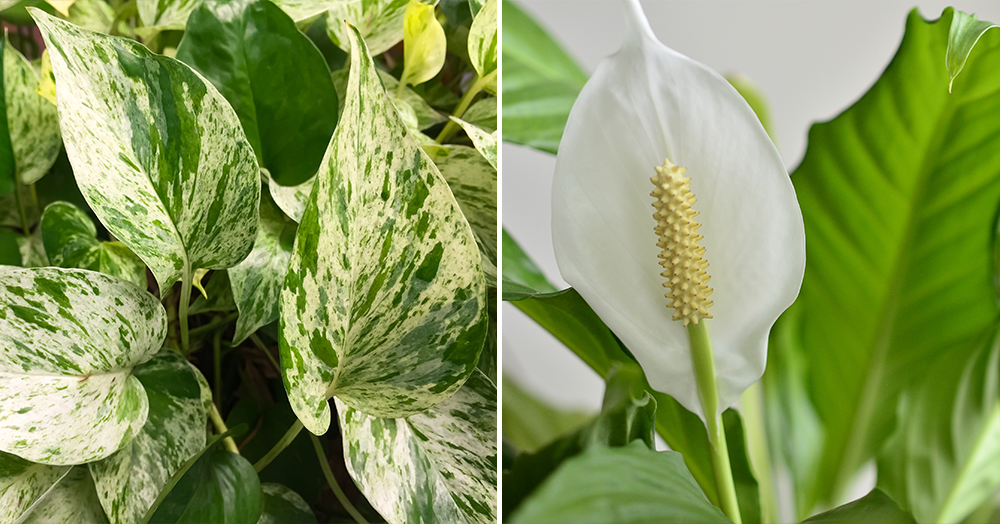 pothos peace lily top 5 trending houseplants mother nature powell river