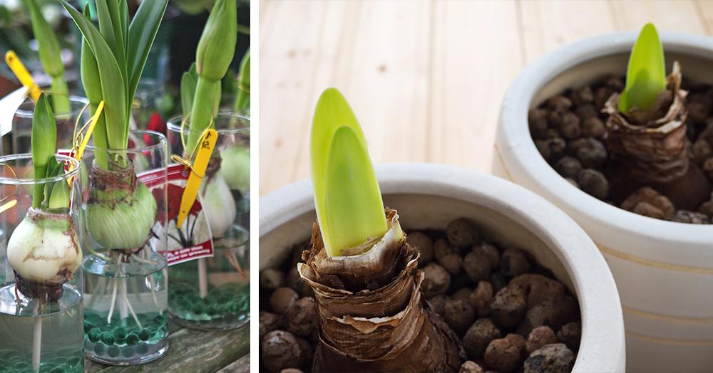 reblooming amaryllis bulbs growing sprouting pot water