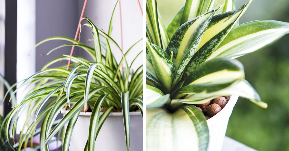 MN-best-Christmas-gift-houseplants-snake-spider-plants
