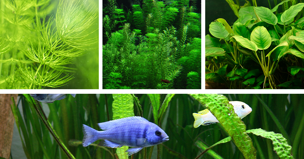 aquarium-plants-coontail-anacharis-anubias-water-fern-powell-river