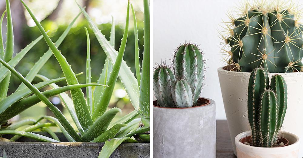 aloe vera cacti best indoor plants bc winter mother nature powell river