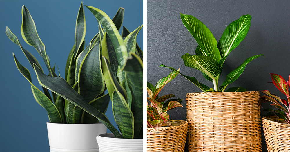 snake plant chinese evergreen best indoor plants bc winter mother nature powell river