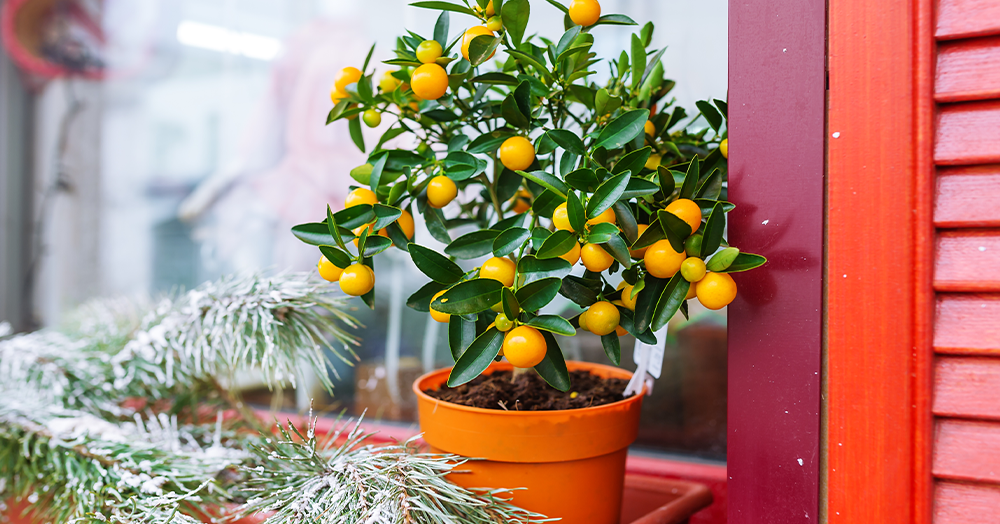 indoor citrus tree moving outdoors