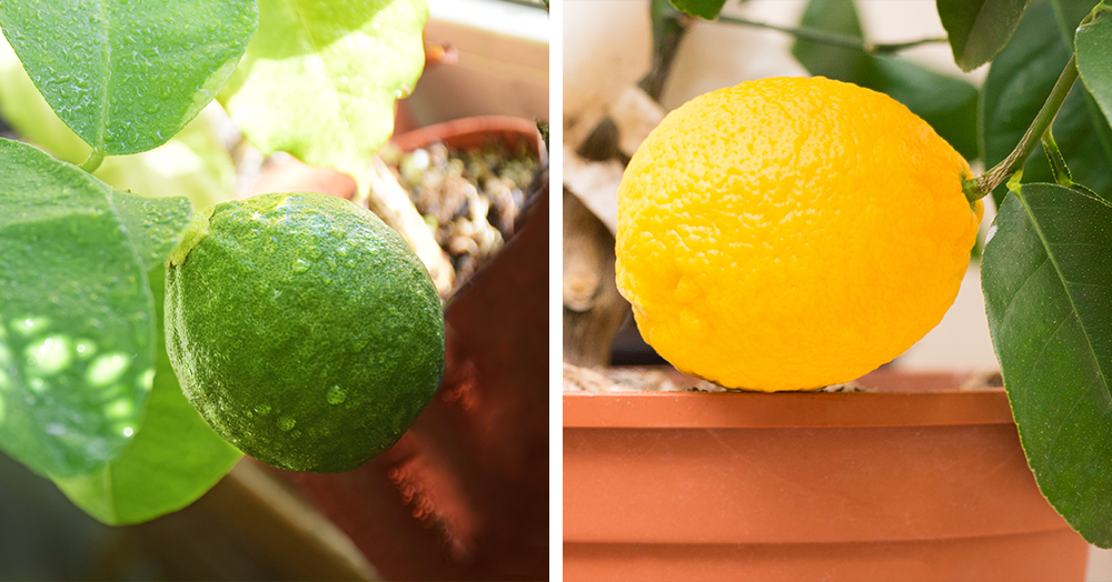 how to grow citrus trees indoors