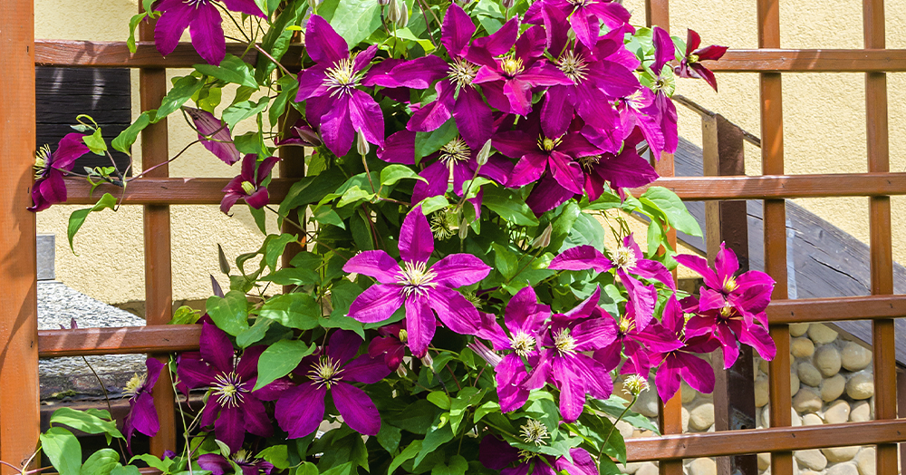 try something new garden ideas clematis trellis