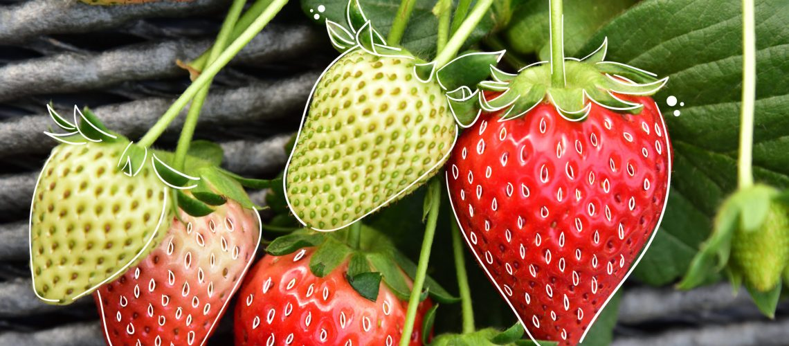 MN-blog-4 Ways You Can Grow Strawberries In A Small Space-01