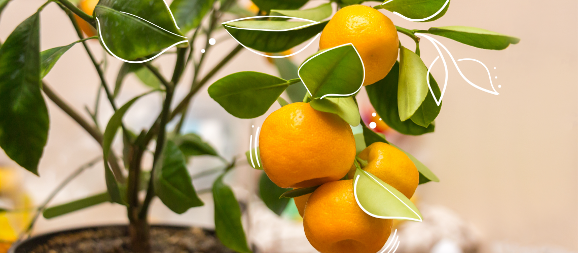 how to grow citrus trees as houseplants