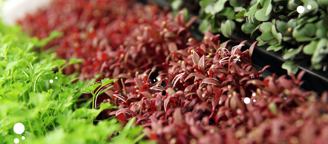 how to grow your own mighty microgreens powell river