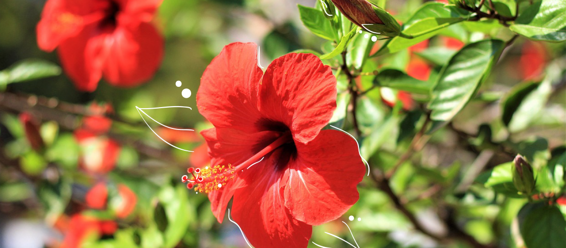 red hibiscus - care - powell river